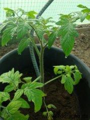 tomaten-und-paprika-3