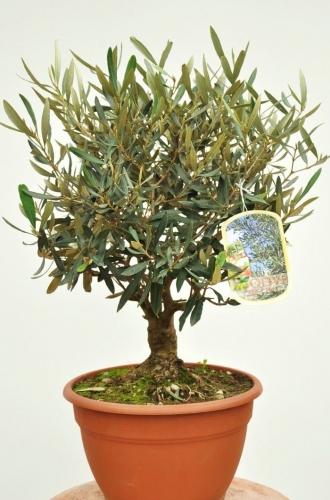 schönen Olivenbaum kaufen