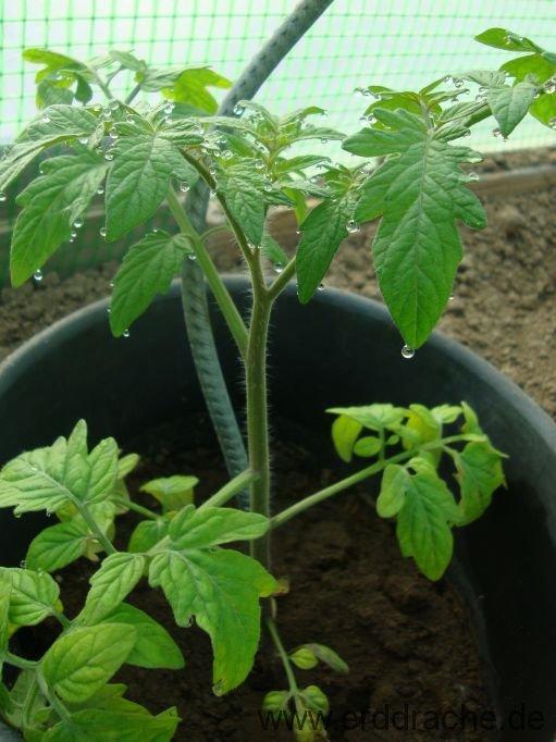 tomaten und paprika in den garten pflanzen erddrache